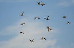 Стадо Wilson& x27; s стрелять летание в пасмурном голубом небе Стоковые Фото