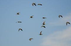 Стадо Wilson& x27; s стрелять летание в пасмурном голубом небе Стоковые Фотографии RF