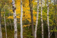 Стволы дерева березы белой бумаги стоковое фото rf