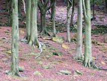 Стволы дерева бука в зеленых мшистых цветах Стоковое Изображение RF