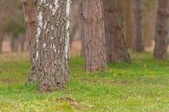 Стволы дерева на зеленой траве Стоковое Изображение RF