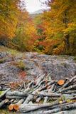 Стволы дерева отрезанные в осени Стоковое фото RF