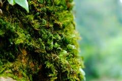 Стволы дерева с мхом в лесе Стоковая Фотография