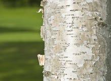 ствол дерева березы Стоковое Фото