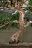 ствол дерева бонзаев стоковое фото
