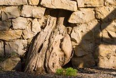 Ствол дерева в каменной стене Стоковые Изображения