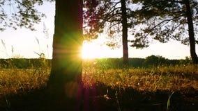 Ствол дерева в конце леса вверх Движение слайдера камеры Лучи солнца светят через деревья на заходе солнца акции видеоматериалы