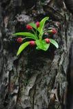 ствол дерева ответвления crabapple флористический стоковая фотография rf