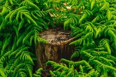 Ствол дерева перерастанный с папоротником Стоковые Фотографии RF