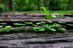 Ствол дерева при клевер трилистника растя на ем Стоковая Фотография RF