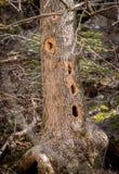 Ствол дерева при несколько отверстий сделанных черным Woodpecker, martius Dryocopus, ища насекомые внутри дерева Стоковая Фотография RF