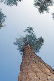 ствол дерева сосенки Стоковое Изображение RF