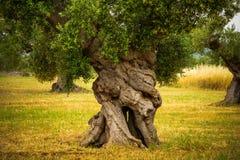 Ствол дерева старого оливкового дерева в зоне Apulia Италии Стоковое Фото
