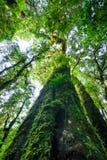 Ствол дерева с мхом и орхидеей в тропическом лесе под взглядом на Doi Стоковое фото RF