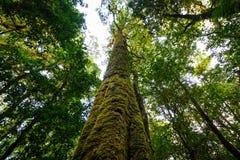 Ствол дерева с мхом и орхидеей в тропическом лесе под взглядом на Doi Стоковое Фото
