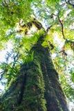 Ствол дерева с мхом и орхидеей в тропическом лесе под взглядом на Doi Стоковые Изображения RF