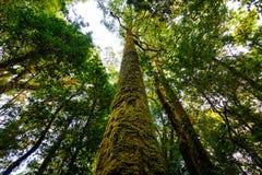 Ствол дерева с мхом и орхидеей в тропическом лесе под взглядом на Doi Стоковая Фотография RF