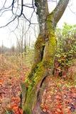 Ствол дерева с мхом Стоковые Изображения RF
