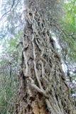 Ствол дерева тяжело скрученный лозами плюща стоковое фото