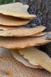 ствол дерева hepactica fistulina кронштейна грибной Стоковые Фото