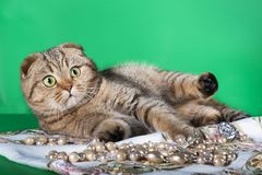 Створка Scottish играя кота на зеленой предпосылке Стоковая Фотография