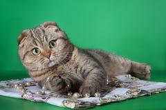 Створка Scottish играя кота на зеленой предпосылке Стоковые Фото