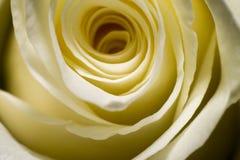Створки лепестка розы крупного плана Стоковое Изображение RF