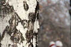 Ствол дерева березы зимы Стоковая Фотография RF