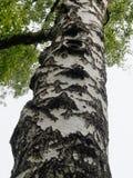 Ствол дерева березы, конец вверх, вверх ногами взгляд Стоковое фото RF