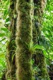 Ствол дерева выросли мхом, который в тропическом лесе Стоковые Фото