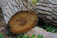 Ствол дерева в лесе дерева бука lenga, Nothofagus Pumilio, Reserva Nacional Laguna Parrillar, Чили Стоковые Фотографии RF