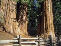 ствол дерева гигантской секвойи Стоковые Изображения