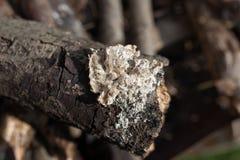 Ствол дерева - деталь Стоковое Изображение