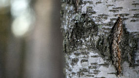 ствол дерева листьев березы осени покрашенный ветвями Стоковые Изображения