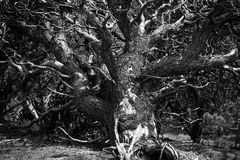 Ствол дерева и лимбы Pinyon черно-белые Стоковые Фото