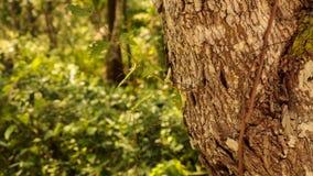 Ствол дерева клена Стоковые Фотографии RF