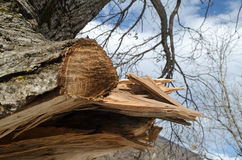 Ствол дерева на фронте Оно резало ветвь с сформированным отверстием внутрь Часть коры дерева отрезана  Серии зеленых кустов I Стоковое Изображение RF