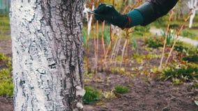 Ствол дерева побелки садовника с мелом в саде, дереве заботит весной видеоматериал