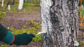 Ствол дерева побелки садовника с мелом в саде, дереве заботит весной сток-видео