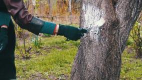 Ствол дерева побелки садовника с мелом в саде, дереве заботит весной акции видеоматериалы