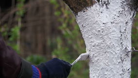Ствол дерева побелки садовника с мелом в саде, дереве заботит весной движение медленное сток-видео