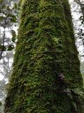Ствол дерева покрытый с мхом Стоковая Фотография RF