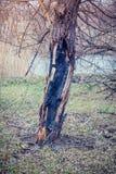 Ствол дерева после огня Стоковое Изображение RF