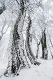 Ствол дерева предусматриванный с гололедью в лесе зимы Стоковая Фотография