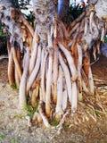 Ствол дерева с корнями в саде Стоковые Фото