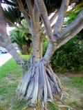 Ствол дерева с корнями в саде Стоковое Изображение