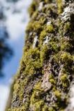 Ствол дерева с мхом и лишайником дерева Стоковое Изображение