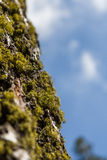 Ствол дерева с мхом и лишайником дерева Стоковые Фото