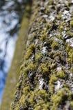 Ствол дерева с мхом и лишайником дерева Стоковые Изображения