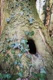 Ствол дерева с отверстием Стоковые Изображения RF